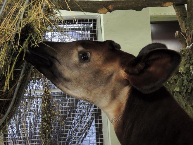 Okapi we wrocławskim ZOO nie są już samotne