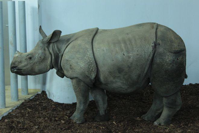Nowy nosorożec przyjechał z Francji