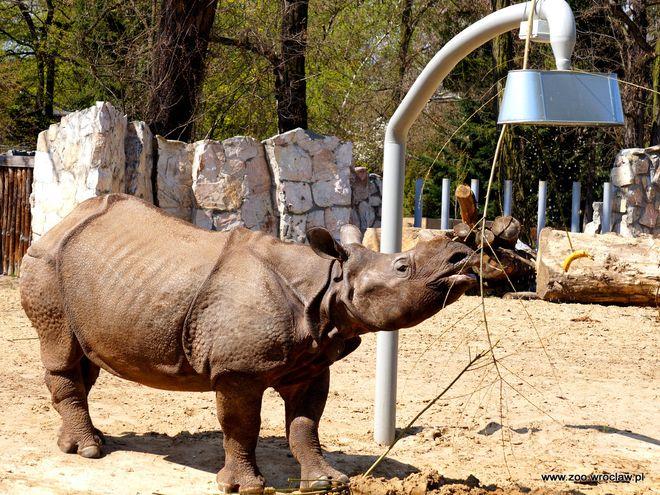 Wrocławskie zoo włącza się do akcji ratowania nosorożców