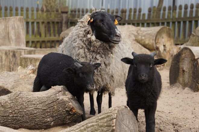 Owce strzyże się raz lub dwa razy w roku