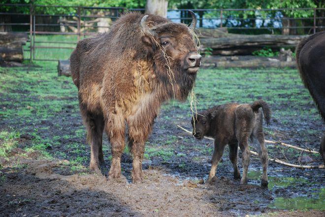 We wrocławskim ZOO w maju na świat przyszedł mały żubr. Warto wykorzystać Dzień Dziecka, by zobaczyć go na żywo