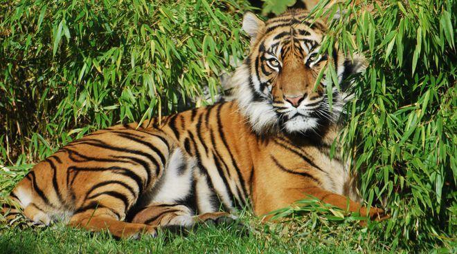 We wrocławskim ZOO tygrys zagrył opiekuna