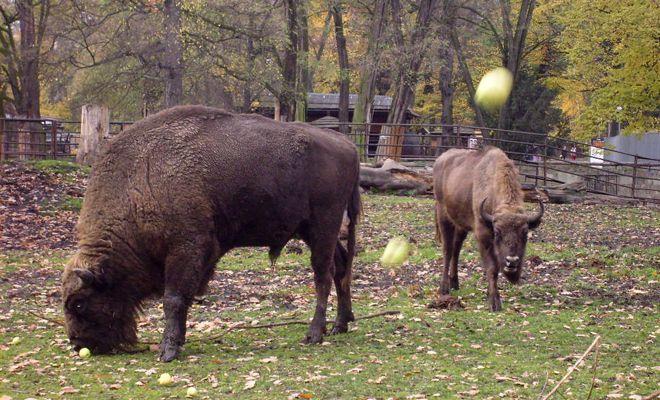 Żubry mieszkają nie tyko w puszczy, także we wrocławskim ZOO