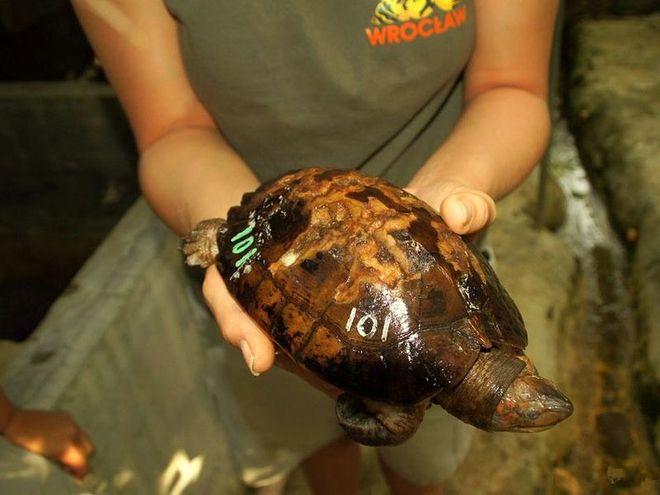Na szczęście wiele żółwi udało się uratować