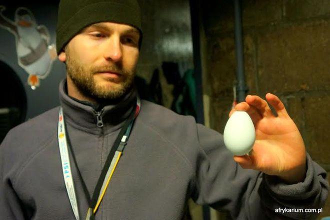 Jajko pingwina w rękach pracownika zoo