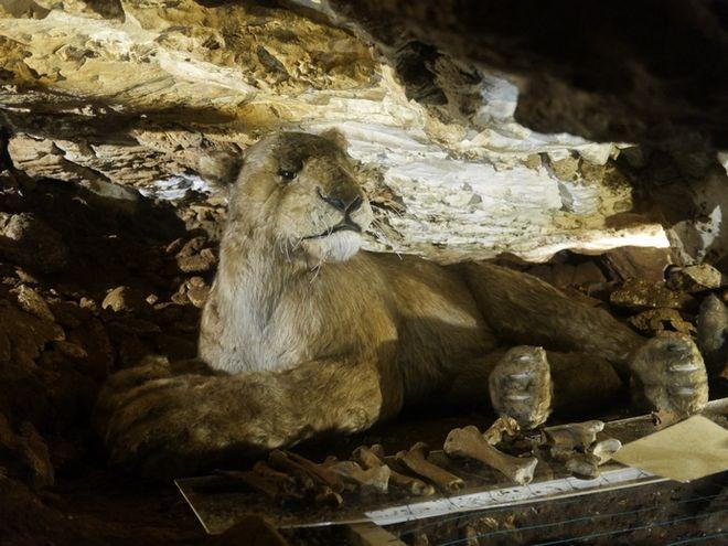 Lew w jaskini w Kletnie