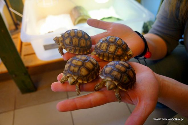 Małe żółwie też trzeba policzyć