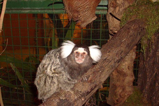 W ciągu ostatnich kilku miesięcy zmarły 4 małpki - uistiti białouche