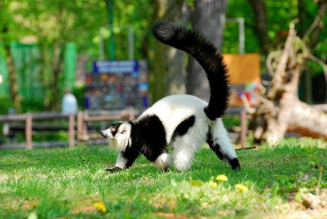 """Lemury Wari znane są ze swoich """"zdolności wokalnych"""" -  ich krzyki sygnalizujące położenie lub zagrożenie słychać na odległość dwóch kilometrów."""