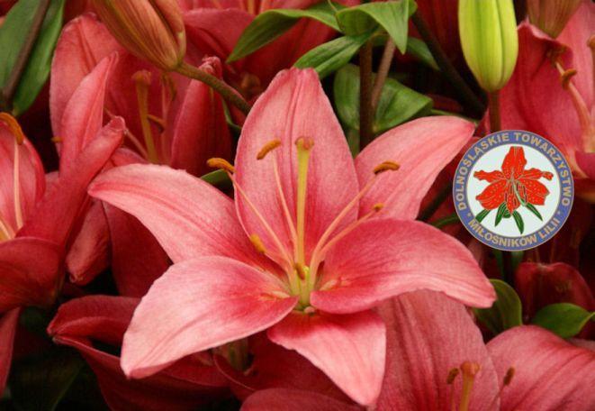 Dalila, odmiana lilii azjatyckiej.