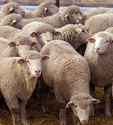 Owce są stłoczone w fatalnych warunkach pod dziurawym dachem, na stercie gnoju