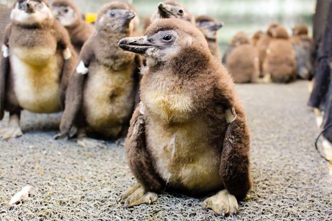 Tak wyglądają młode pingwiny przylądkowe
