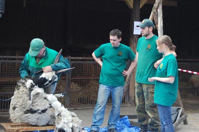 Strzyżenie owiec to coroczny rytuał w naszym ZOO