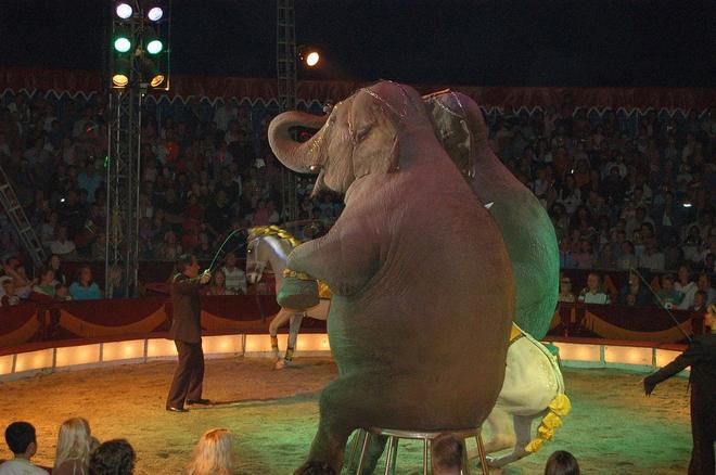 Czy we Wrocławiu nie będzie już cyrków z pokazami z udziałem zwierząt?