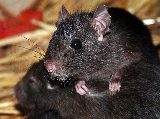 Szczury pojawiają się zwłaszcza w centrum miasta