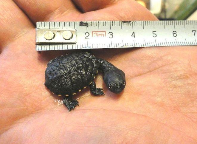 Żółw wężoszyi (McCorda)