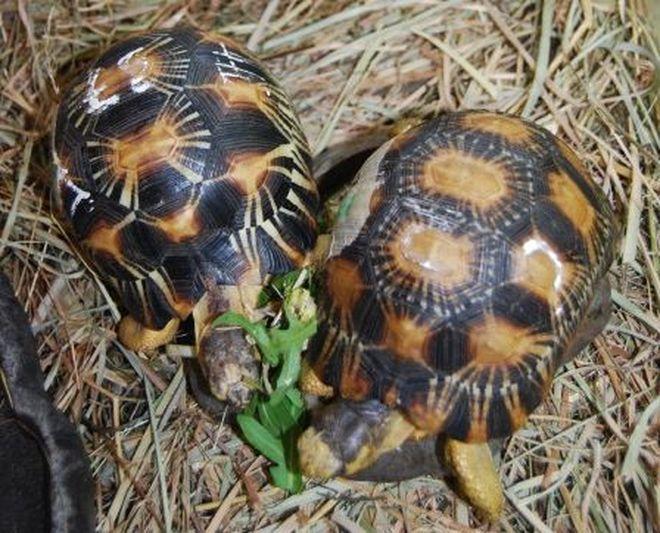 Zółwie zamiast do Chin trafiły do wrocławskiego ogrodu zoologicznego