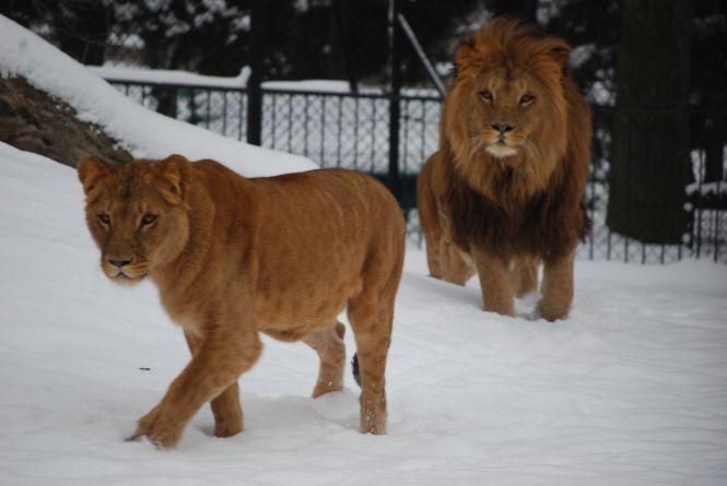 Lwy we wrocławskim zoo