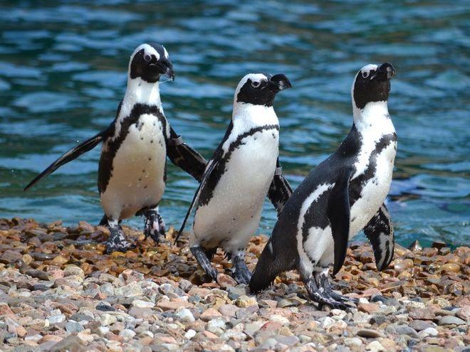 Pingwiny we wrocławskim zoo